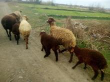 گوسفند و بره در شیپور