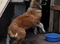 طوله سگ 6ماهه قدرجانی در شیپور-عکس کوچک