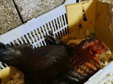 مرغ کرچ لاری و خروس پر مرغی طوس اصیل در شیپور