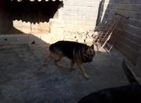 سگ ژرمن شولاین موبلند در شیپور-عکس کوچک
