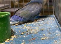 طوطی برزیلی ابی وایت فیس نر حلقه پا در شیپور-عکس کوچک