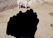 سگ سراب  وگله در شیپور-عکس کوچک