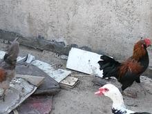 فروش مرغ و خروس  در شیپور