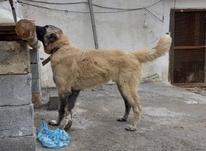 توله سگ سراب در شیپور-عکس کوچک