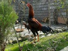 مرغ و خروس لاری اصیل در شیپور