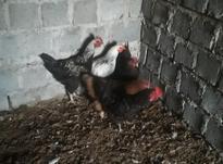فروش مرغ وخروس  در شیپور-عکس کوچک