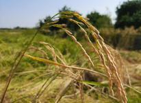 زمین کشاورزی 1500 متر در شیپور-عکس کوچک