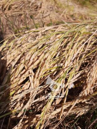 زمین کشاورزی 1500 متر در گروه خرید و فروش املاک در مازندران در شیپور-عکس2