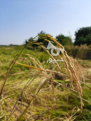 زمین کشاورزی 1500 متر در گروه خرید و فروش املاک در مازندران در شیپور-عکس1