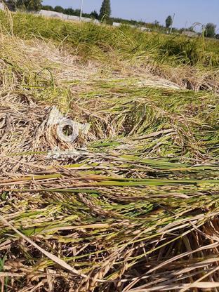 زمین کشاورزی 1500 متر در گروه خرید و فروش املاک در مازندران در شیپور-عکس3