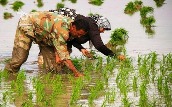 زمین کشاورزی در گروه خرید و فروش املاک در مازندران در شیپور-عکس3