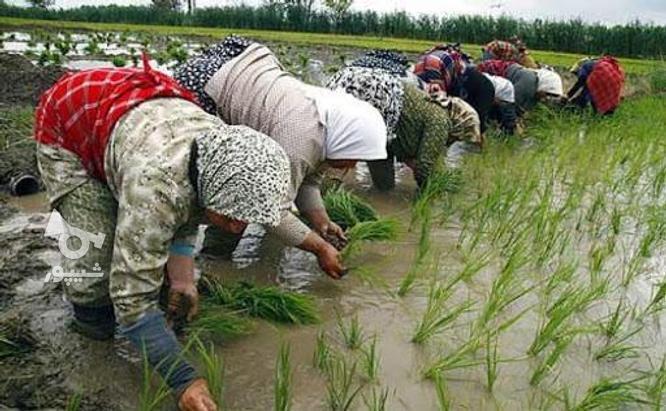 زمین کشاورزی در گروه خرید و فروش املاک در مازندران در شیپور-عکس2