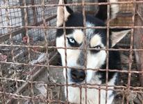 سگ هاسکی اصیل در شیپور-عکس کوچک