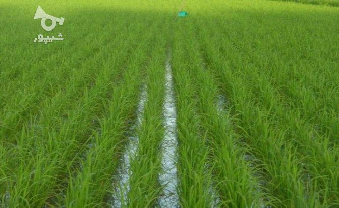 زمین کشاورزی 700 متری در کوی اصحاب روستا شهاب لیلم در گروه خرید و فروش املاک در مازندران در شیپور-عکس1