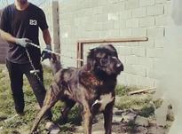 سگ خراسانی فروش فوری در شیپور-عکس کوچک