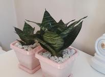 گل سانسوریا سبز پاکوتاه با گلدان نو در شیپور-عکس کوچک
