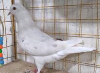 کبوتر...... در شیپور-عکس کوچک