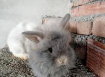 فروش خرگوش لپ اصل در شیپور-عکس کوچک