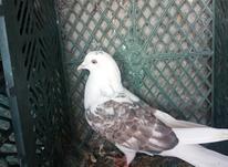 کبوتر پشت دار وطوقی در شیپور-عکس کوچک