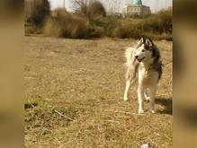 سگ هاسکی نر سیبرین گمشده  در شیپور