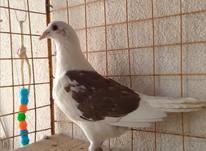 کبوتر..... در شیپور-عکس کوچک