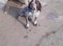 سگ پوینتر نر  در شیپور-عکس کوچک