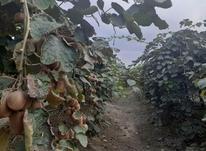 فروش فوری باغ  کیوی 3هکتاری در آمل در شیپور-عکس کوچک