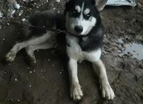 سگ هاسکی نر در شیپور-عکس کوچک