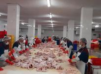کارگر ساده استحصال مرغ یا شینسل کردن مرغ در شیپور-عکس کوچک