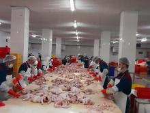 کارگر ساده استحصال مرغ یا شینسل کردن مرغ در شیپور