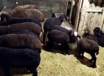 گوسفند وره مار و سیلک در شیپور-عکس کوچک