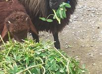 گوسفند وره مار عالی  در شیپور-عکس کوچک