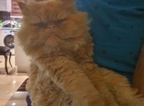 گربه پرشین اصل  در شیپور-عکس کوچک