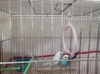 یک جفت مرغ عشق بالغ به همراه قفس و بقیه لوازم  در شیپور-عکس کوچک