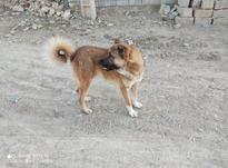 سگ مخصوص نگهبانی در شیپور-عکس کوچک