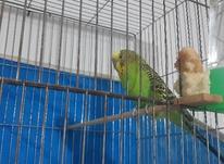 مرغ  عشق نر،مست مست در شیپور-عکس کوچک