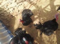 بوقلمون نر و ماده در شیپور-عکس کوچک
