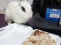 دو عدد خرگوش سفید و سیاه نر در شیپور-عکس کوچک