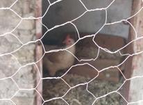 مرغ تخم گذار نزدیک کورچ در شیپور-عکس کوچک