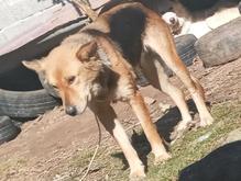 سگ ماده گمشده  در شیپور