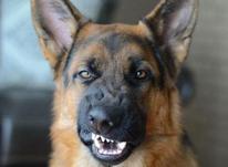 فروش توله سگ ژرمن ، توله ژرمن بلک فیس شولاین در شیپور-عکس کوچک