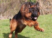 فروش سگ ژرمن شپرد ، توله ژرمن باهوش آموزش دیده در شیپور-عکس کوچک