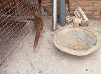 قرقاول ماده آماده بلژیکی در شیپور-عکس کوچک