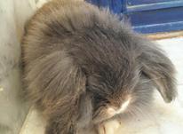 فروش خرگوش لوپ هلندی اصل فلت در شیپور-عکس کوچک