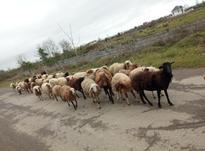 گوسفند ابستن. گوسفندبابره. نرسلک. بره در شیپور-عکس کوچک