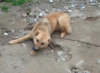 سگ شکاری 10ماهه ماده نژاد اصل راکی در شیپور-عکس کوچک