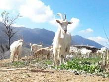 فروش دامداری و کشاورزی 1200 متر در گالیکش در شیپور