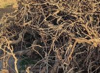 تنه درخت انگور در شیپور-عکس کوچک