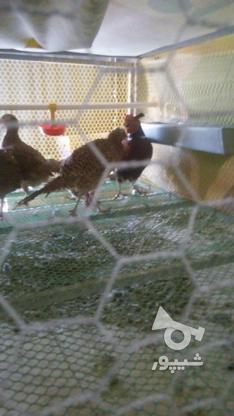 تخم نطفه دار وجوجه قرقاول در گروه خرید و فروش ورزش فرهنگ فراغت در مرکزی در شیپور-عکس3