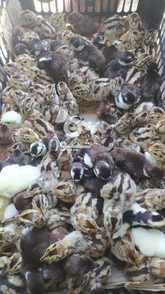 تخم نطفه دار وجوجه قرقاول در گروه خرید و فروش ورزش فرهنگ فراغت در مرکزی در شیپور-عکس4